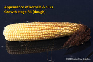Appearance of kernels and silks - Growth stage R4 (dough)