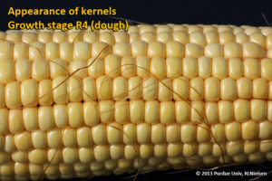 Appearance of kernels - Growth stage R4 (dough)