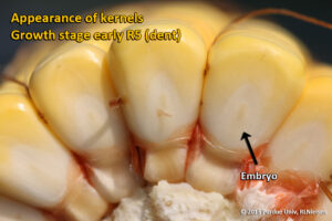 Appearance of kernels - Growth state early R5 (dent)