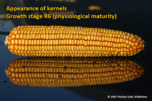 Appearance of kernels - Growth stage R6 (physiological maturity)