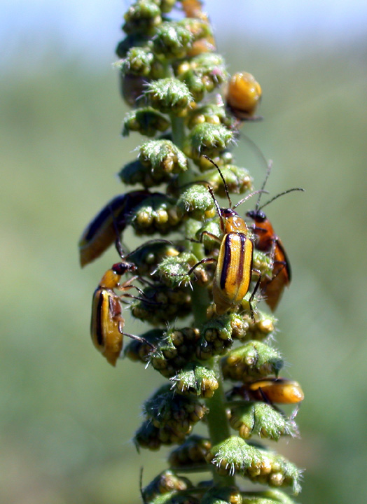 Western corn rootworm beetle feeding on giant ragweed pollen.