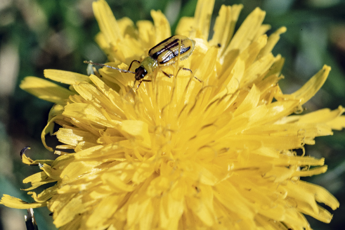 Western corn rootworm beetle feeding on dandelion pollen.