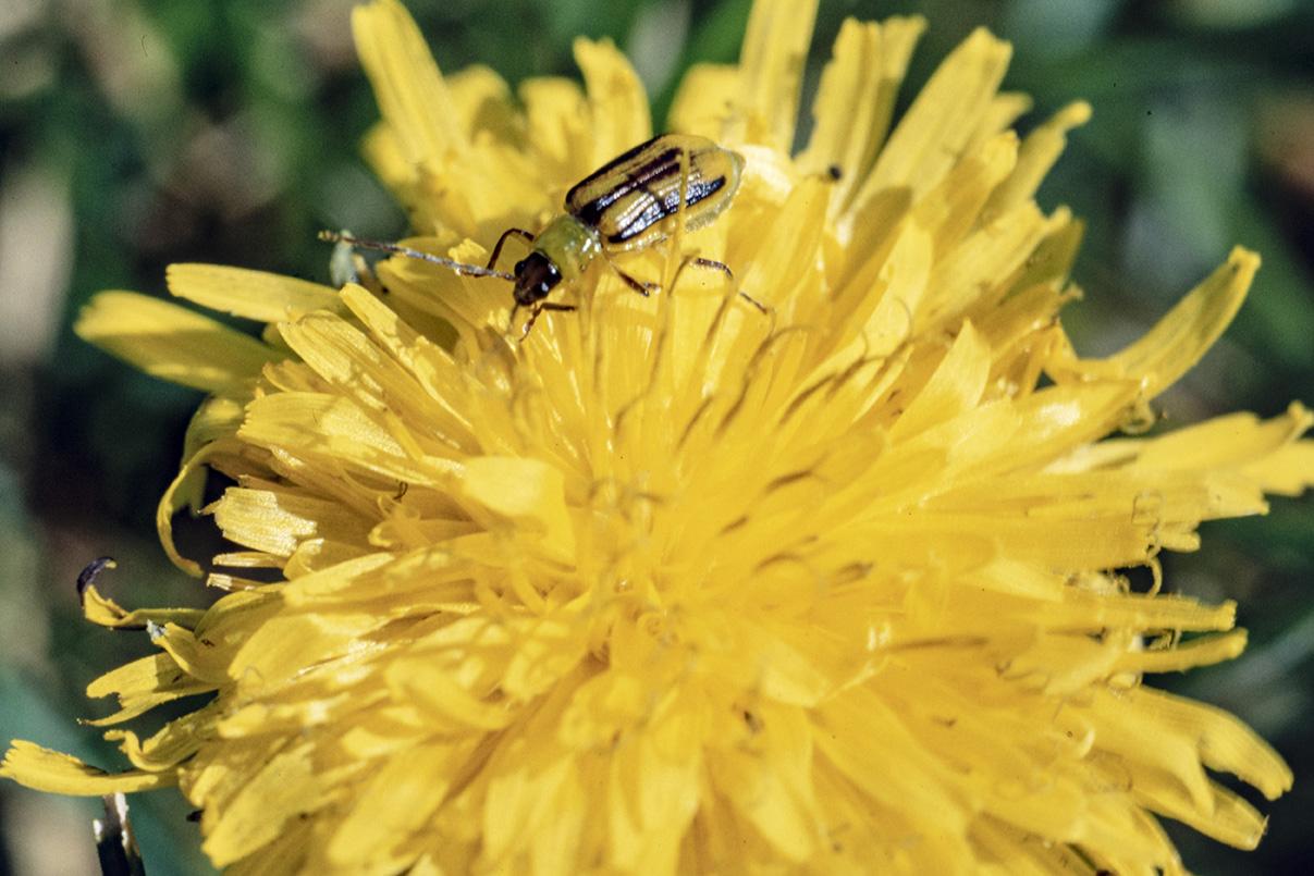 Western corn rootworm beetle feeding on dandelion pollen.