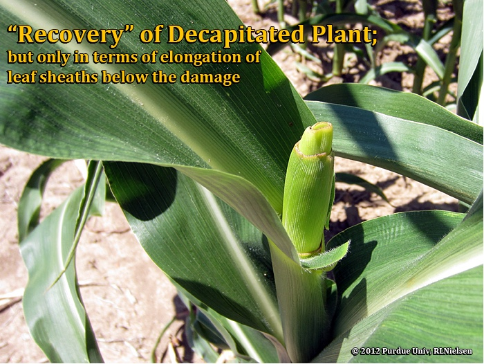 recovery of decapitated plant