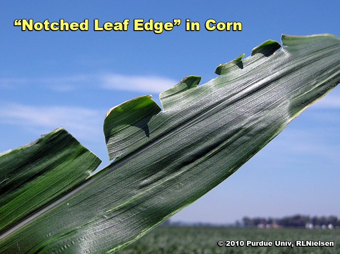 Notched leaf edge in corn.