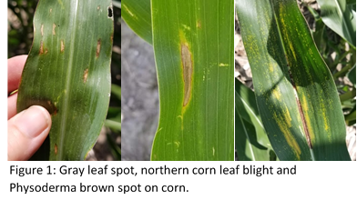 Figure 1: Gray leaf spot, northern corn leaf blight and Physoderma brown spot on corn.
