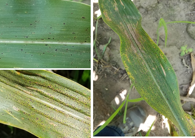 Figure 2. Tar spot symptoms on leaves both on the lower and the upper canopy. (Photo Credit: Darcy Telenko)