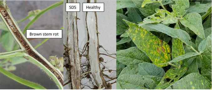 Figure 1. Discoloration of pith by brown stem rot, discoloration of vascular tissue by sudden death syndrome (SDS) verses a healthy stem, and foliar symptoms of either SDS or brown stem rot.