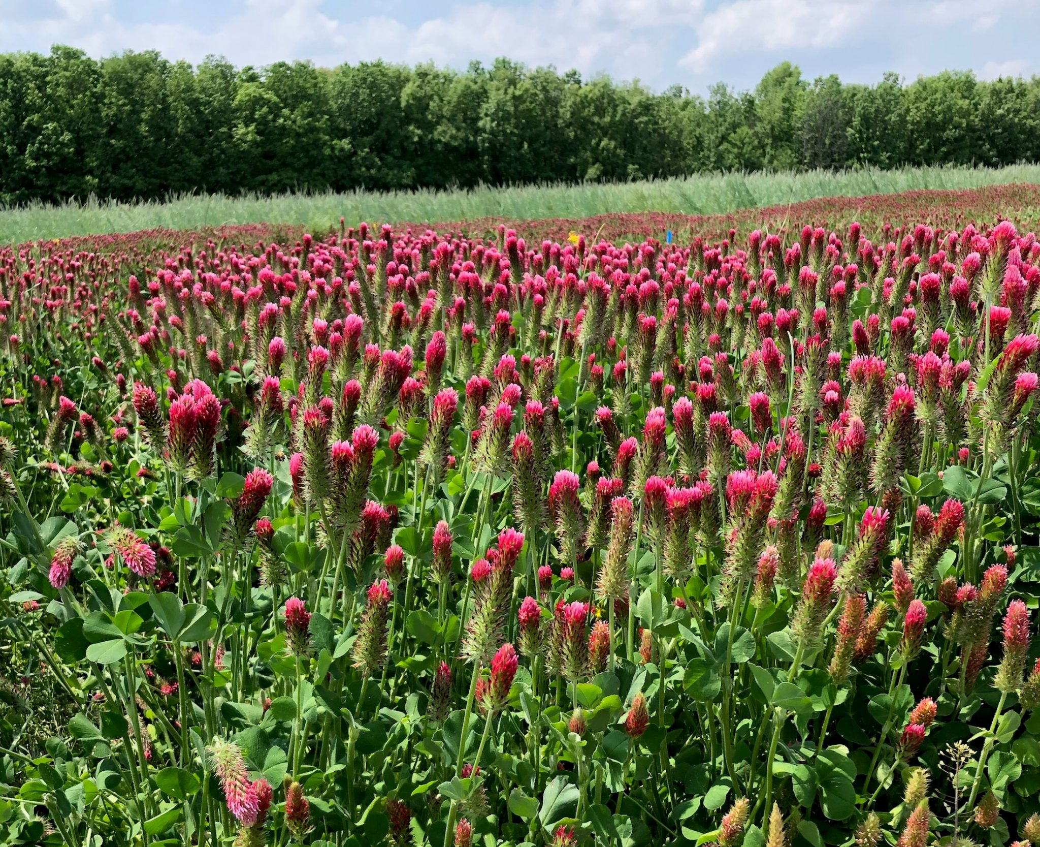 Red clover stand in 2019 cover crop trials. (Photo Credit: Connor Hodgskiss)