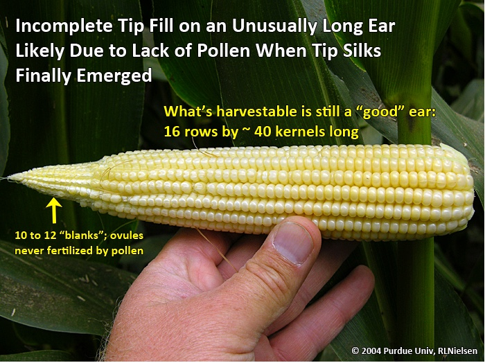 Incomplete tip fill on an unusually long ear