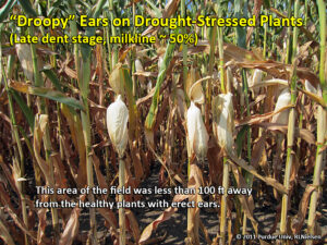 Droopy ears on drought stressed plants