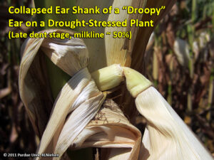 Collapsed ear shank of a droopy ear on a drought stressed plant