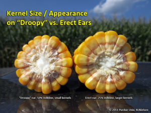 Comparison of kernel appearance between a droopy (left) and erect (right) ear