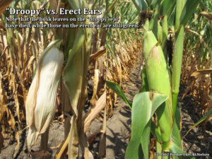 Droopy vs. erect ears; Note that the husk leaves on the droopy ear are already dead