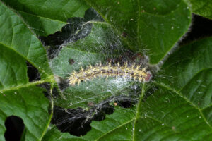 Painted lady caterpillar feeding and webbing of soybean leaves