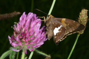 Silver-spotted skipper feeding on clover