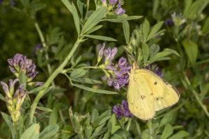 Sulfur butterfly feeding on alfalfa flower