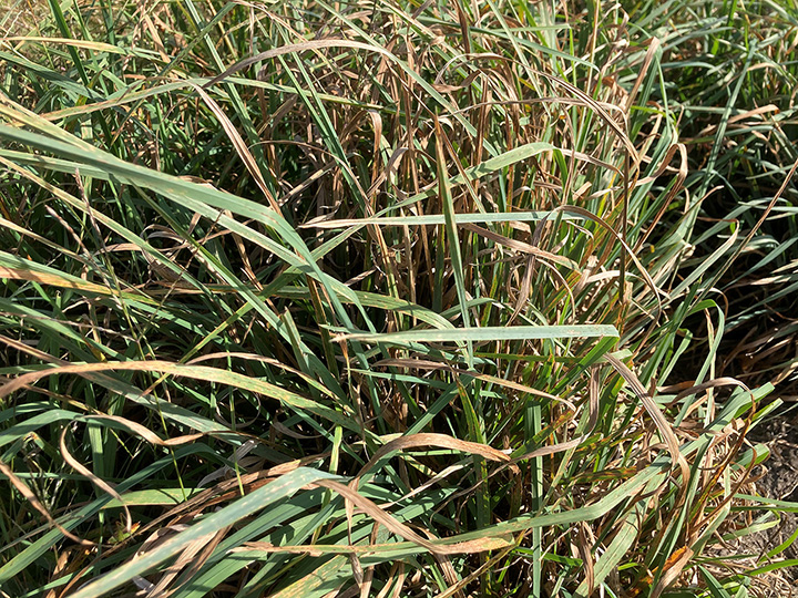 Forage variety selection is an important consideration. The orchardgrass variety on top has better leaf health than the variety on the bottom. Yield and quality is less with the more leaf diseased variety.