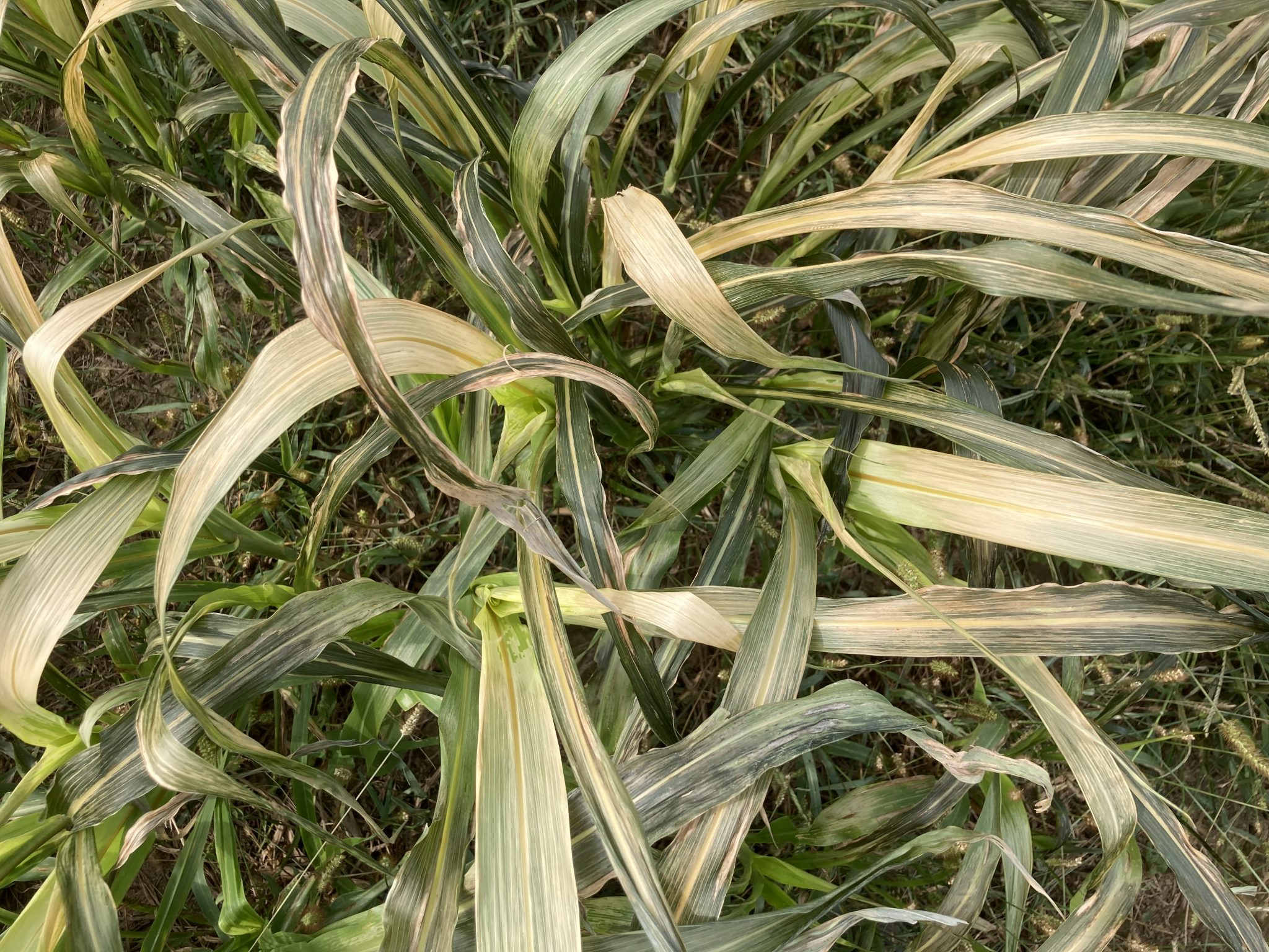 Sorghum-sudangrass suffered freeze damage this past weekend in some areas of Indiana. Prussic acid poisoning potential can be minimized with management. (Photo Credit: Keith Johnson)