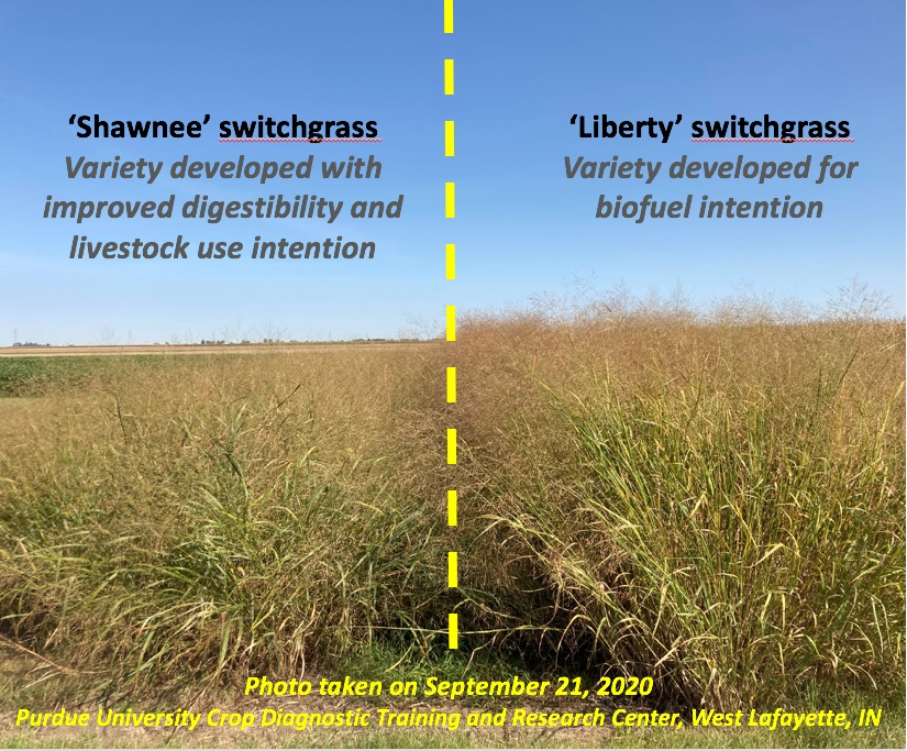 The photo of 'Liberty' and 'Shawnee' switchgrass at the Purdue University Crop Diagnostic Training and Research Center illustrates the better yield potential and less lodging of 'Liberty as compared to 'Shawnee' switchgrass. (Photo Credit: Keith Johnson)