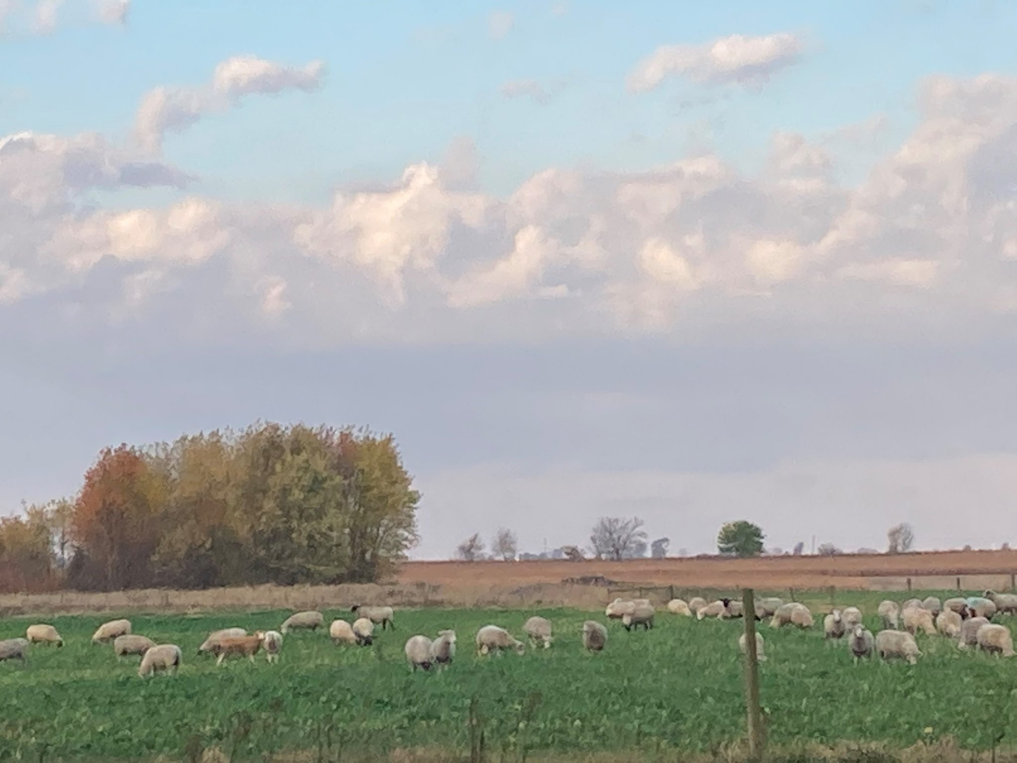Sheep grazing a cover crop mixture of forage turnips and small grains. (Photo Credit: Keith Johnson)