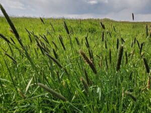 Creeping foxtail or meadow foxtail is being found in pastures