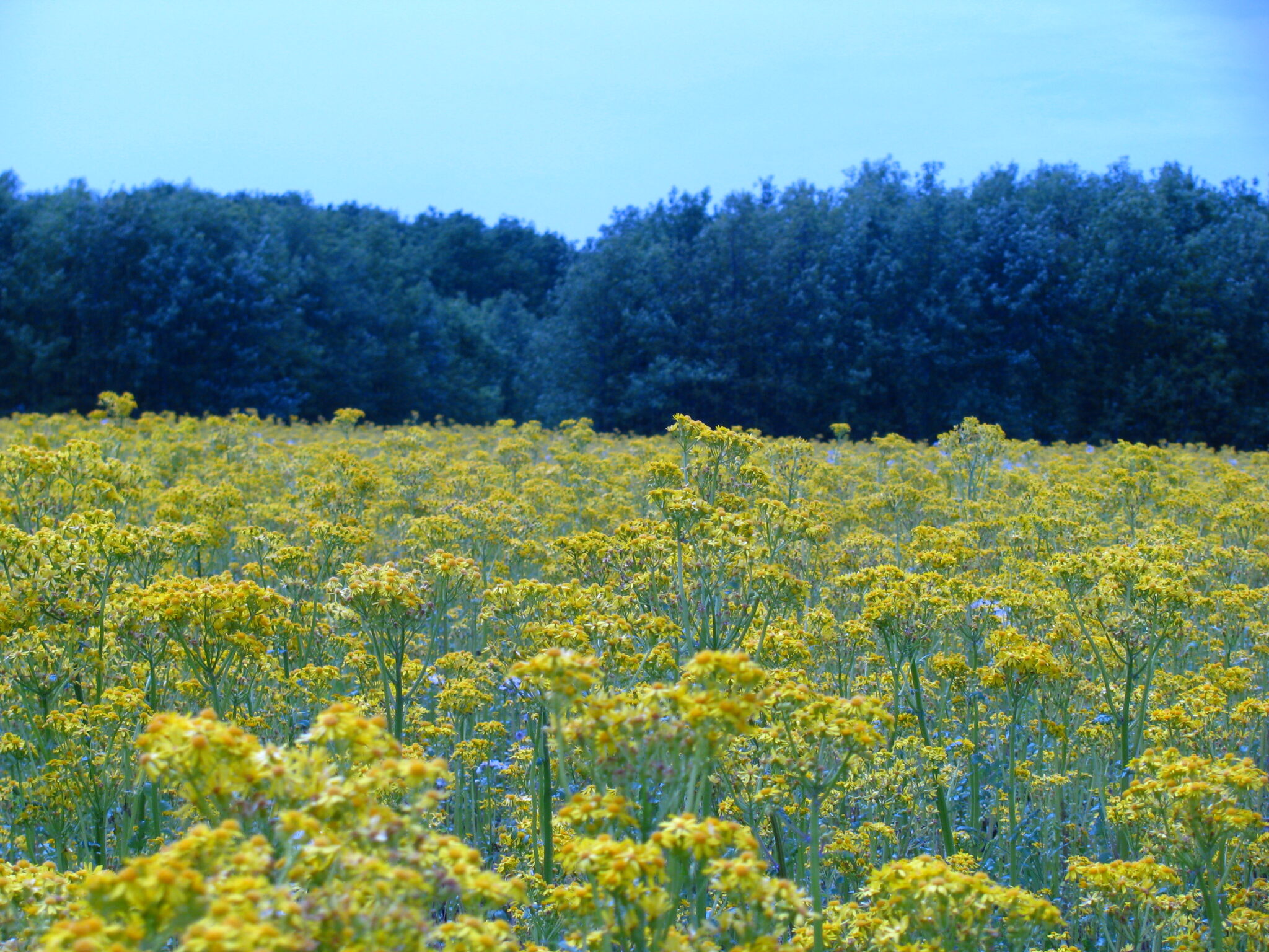 Figure 02. Field infested with cressleaf groundsel at the Southeast Purdue Agricultural Center (Photo: Glenn Nice).
