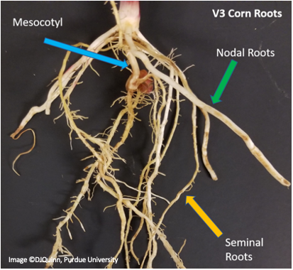Image 2: Root system of a V3 corn plant highlight the mesocotyl, seminal and nodal roots.