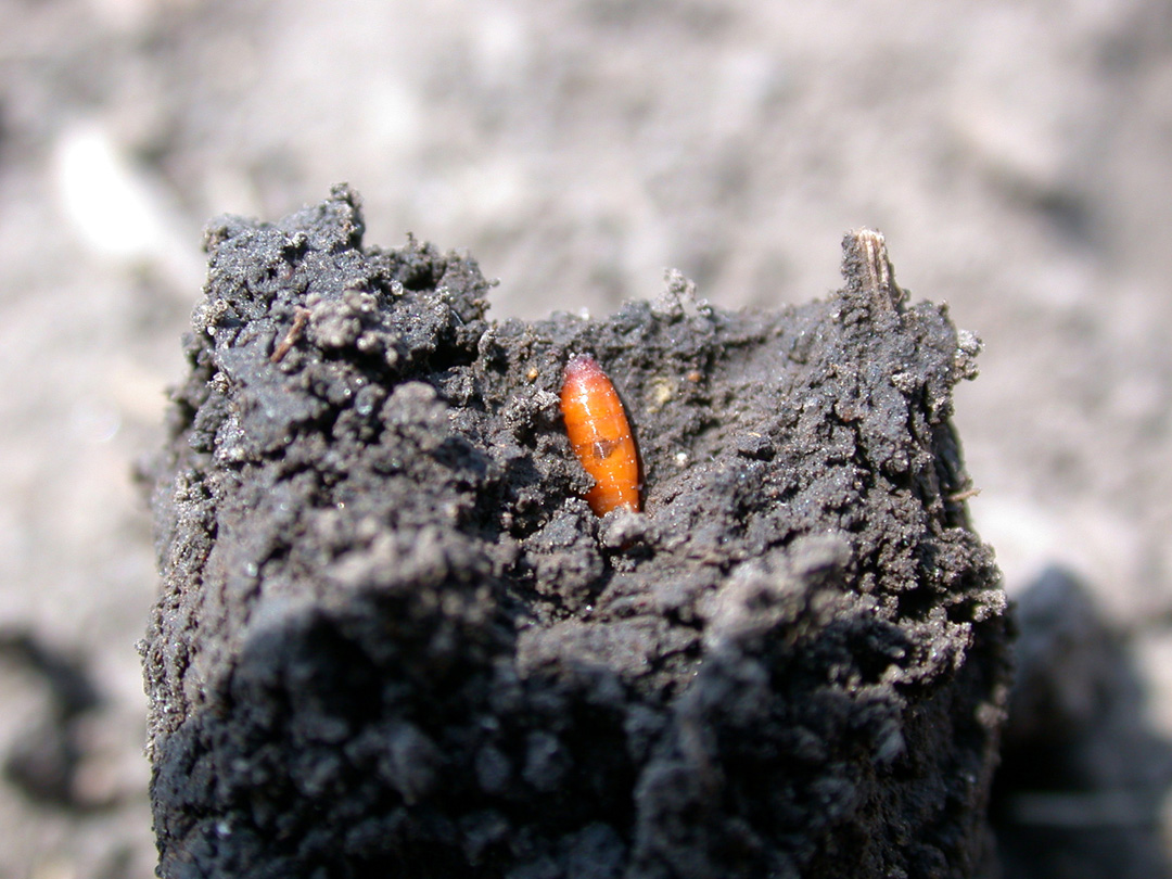 Finding pupa while digging for missing seedlings indicates that the damage has been done. (Photo Credit: John Obermeyer)