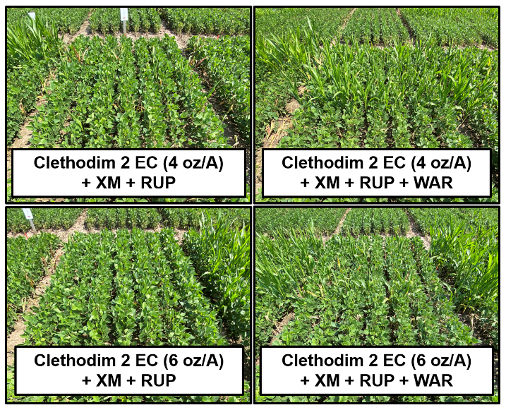 Figure 2. Antagonistic effect of dicamba and dicamba + acetochlor on corn control with Clethodim 2EC. Abbreviations: XM = XtendiMax (22 oz/A); RUP = RoundUp PowerMax II (32 oz/A); WAR = Warrant (48 oz/A).