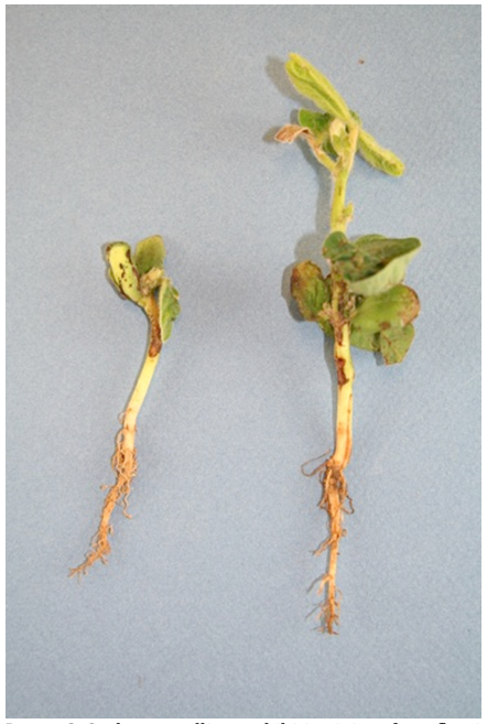 Image 2. Soybean seedlings exhibiting injury from flumioxazin due to slowed metabolism and herbicide splash on the hypocotyl, cotyledons, and unifoliate leaves.