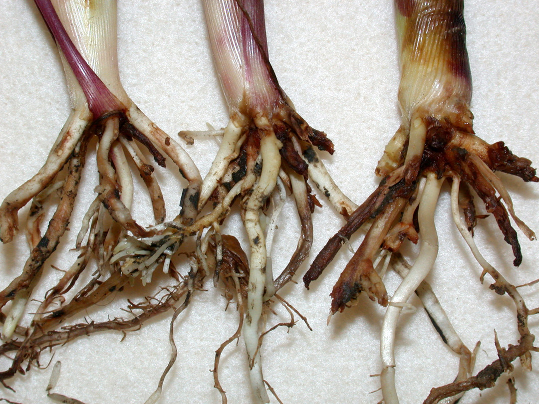 These late-planted, restricted roots, of corn were severely damaged by rootworm feeding. (Photo Credit: John Obermeyer)