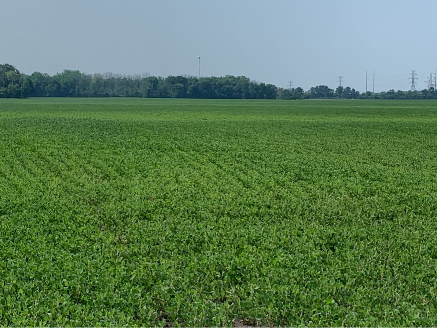 Figure 2. Field variation of soybean due to saturated and ponded conditions. Off-green to highlighter green soybeans have undergone saturated to ponded conditions to the point of causing root and nodule death. Dark green soybeans would be the more normal areas of growth and development.