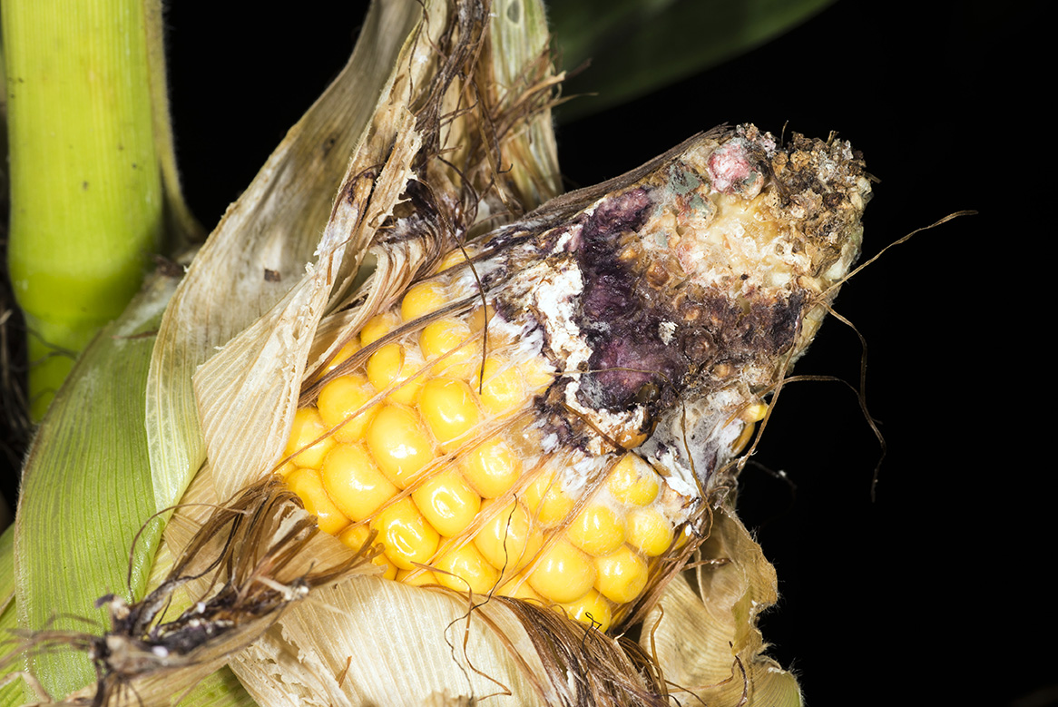 Losing kernels to western bean cutworm feeding is only a part of the story. (Photo Credit: John Obermeyer)