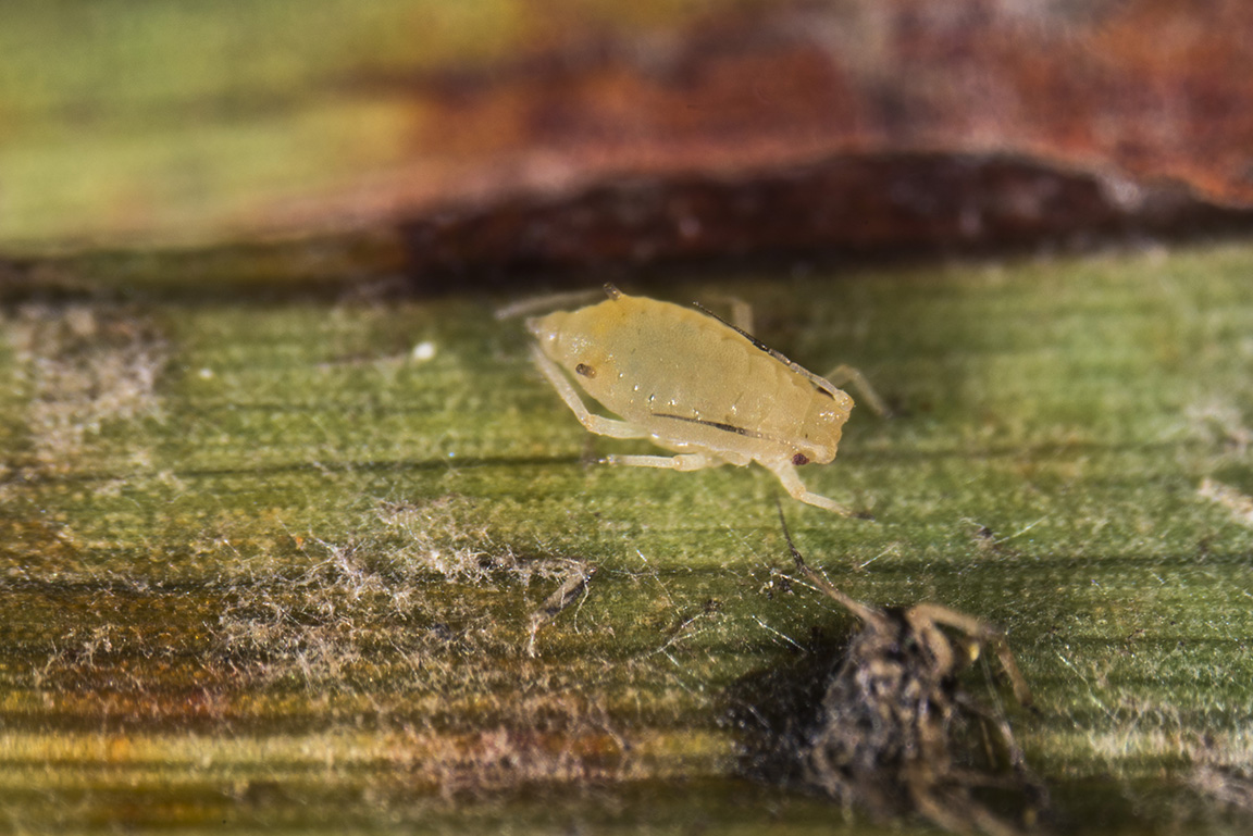 """Close-up of sugarcane aphid, note the black tipped """"feet"""", antennae, and cornicles (""""tail pipes""""). (Photo Credit: John Obermeyer)"""