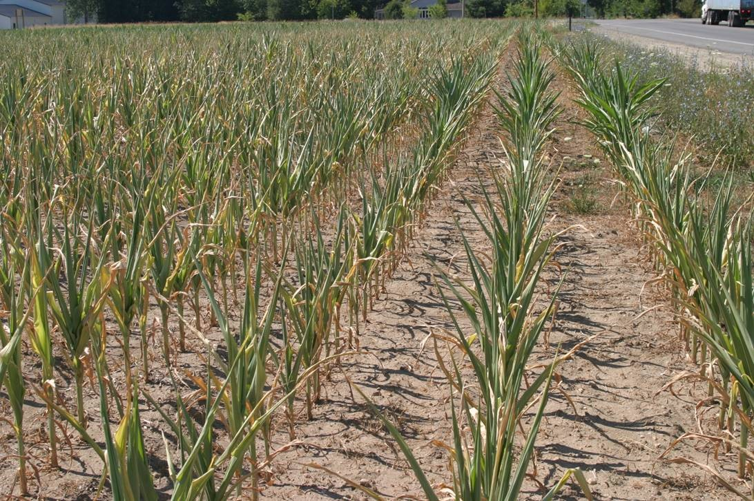 Corn plants can roll-up their leave to reduce sunlight interception when they cannot pull water in as fast as the plant needs it. This happens at a cost to productivity and profits. Irrigators need to meet the water needs of the crop, but without the expense of over watering.