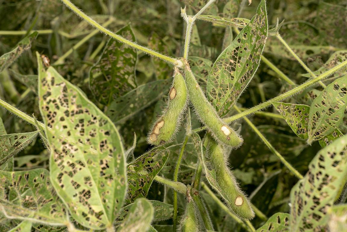 BLB pod damage and defoliated leaves
