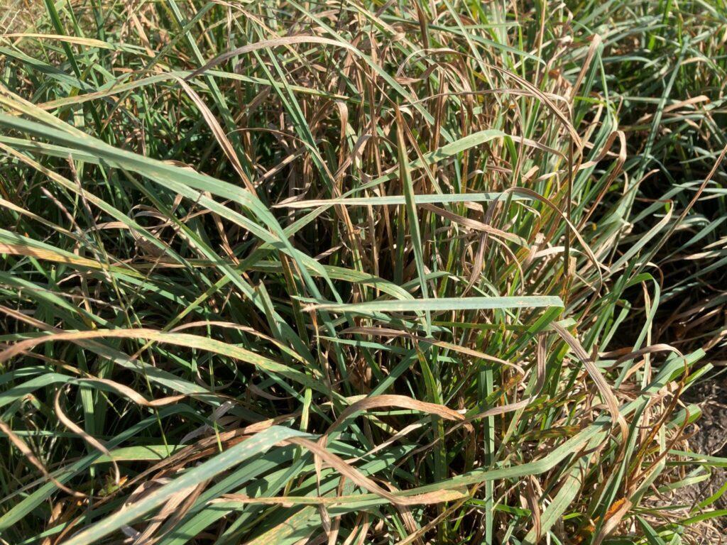 diseased orchardgrass