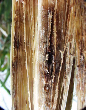 corn lodging table image 5