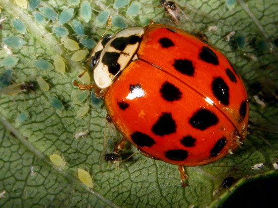Does not predators of the asian lady beetle