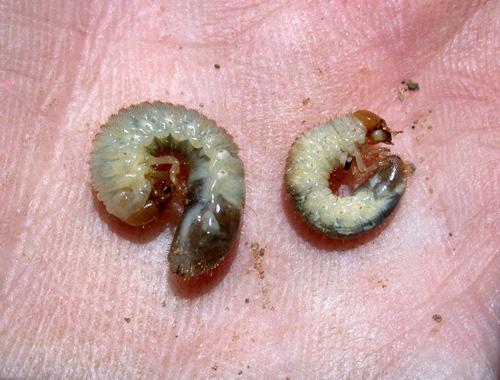 à propos de Bacillus thuringiensis Bug5