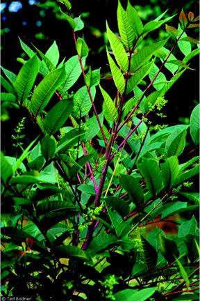poison sumac rash images. Poison Hemlock.