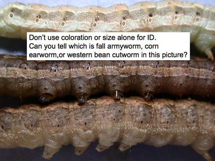 western bean cut worm
