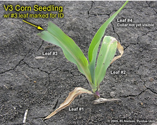 anthesis in corn