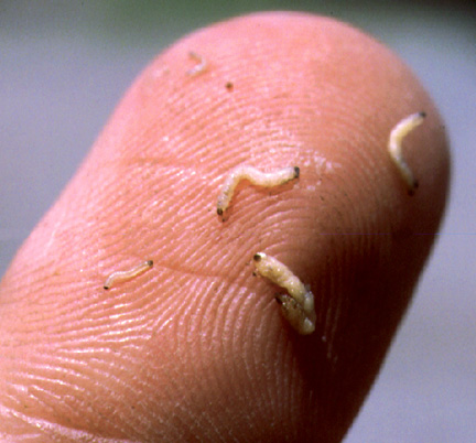 bathroom gnats