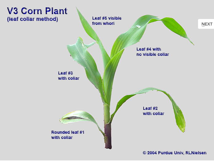 Corn Plant Diagram Corn Plant Diagram Labeled