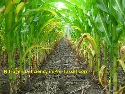 Nitrogen deficiency in pre-tassel corn