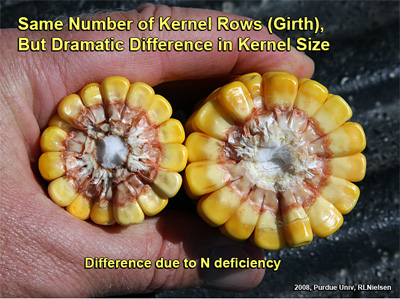 Same number of kernel rows (Girth), but dramatic difference in kernel size