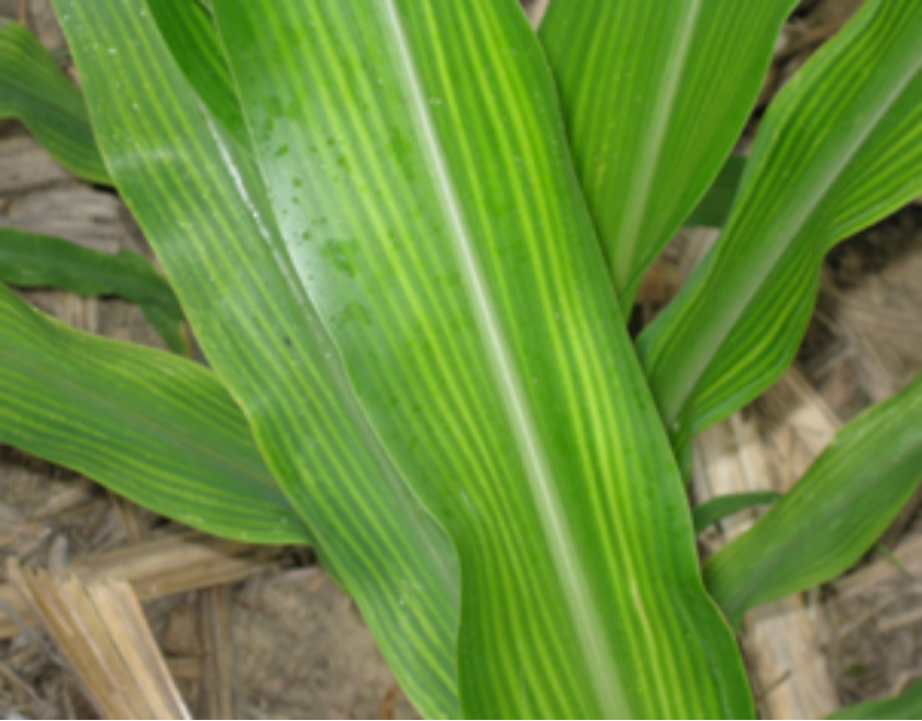 June 21 2013 issue 12 pest crop newsletter for Soil zinc deficiency
