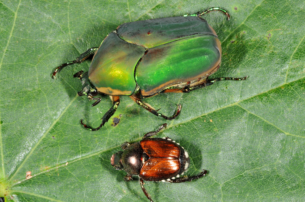 how to kill japanese beetles on green beans